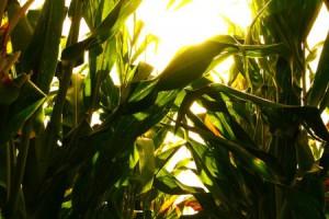 corn-2-700x300