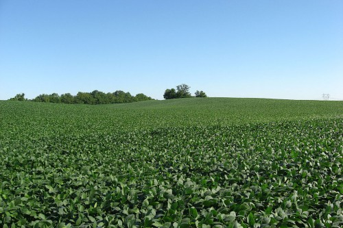 1024px-Soybean_fields_at_Applethorpe_Farm