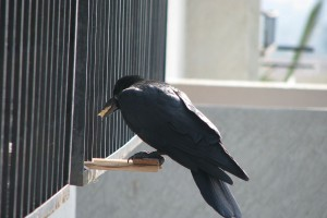 1024px-Crow_eating_food
