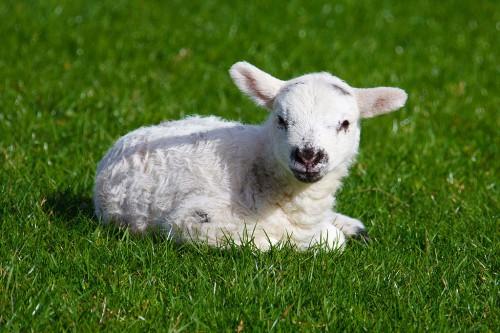 Baby_lamb